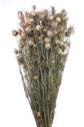 CZARNUSZKA DAMASCEŃSKA KOLOR NATURALNY (Nigella damascena) suszki dekoracyjne kwiaty na suche bukiety