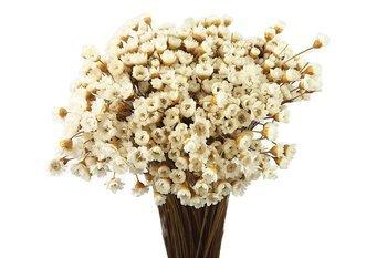 GLIXIA KOLOR NATURALNY gliksja niebarwiona suszki dekoracyjne drobne suszone kwiaty