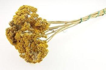 KRWAWNIK WIĄZÓWKOWATY KOLOR ŻÓŁTY (Achillea) naturalne kwiaty suszone niebarwiony susz roślinny do dekoracji