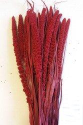 WŁOŚNICA KOLOR BURACZKOWY (setaria) trawa ozdobna na suche bukiety