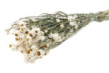 ZŁOCISZEK KOLOR NATURALNY BIAŁY wiekuistka (Ammobium alatum) mniejszy pęczek suszki dekoracyjne kwiaty suszone na bukiety