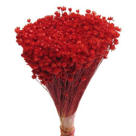 GLIXIA KOLOR CZERWONY gliksja suszki dekoracyjne kwiaty suszone
