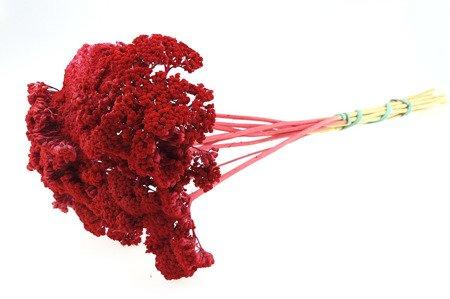 KRWAWNIK WIĄZÓWKOWATY KOLOR CZERWONY (Achillea) barwiony susz roślinny do dekoracji