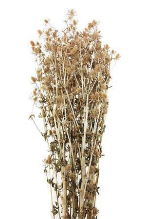 MIKOŁAJEK KOLOR NATURALNY (Eryngium) suszki dekoracyjne kwiaty osty na suche bukiety