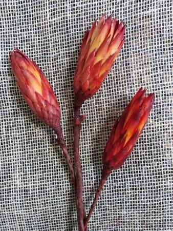 PROTEA REPENS KOLOR NATURALNY CZERWONY kwiaty suszone susz egzotyczny