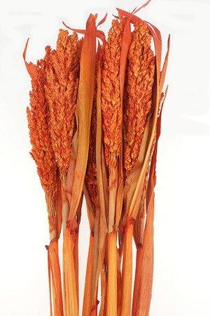 SENEGAL SORGO KOLOR POMARAŃCZOWY susz roślinny do dekoracji rośliny na suche bukiety