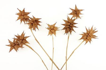 TURZYCA MACZUGOWATA KOLOR JASNOBRĄZOWY (Carex grayi) suszki do dekoracji