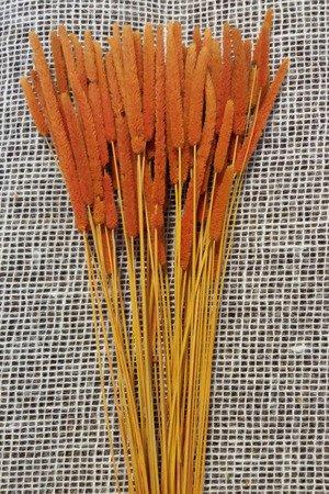 TYMOTKA ŁAKOWA KOLOR JASNOPOMARAŃCZOWY Phleum pratense (brzanka pastewna) ozdobna trawa suszona