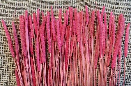 TYMOTKA ŁĄKOWA KOLOR RÓŻOWY Phleum pratense (brzanka pastewna) ozdobna trawa suszona