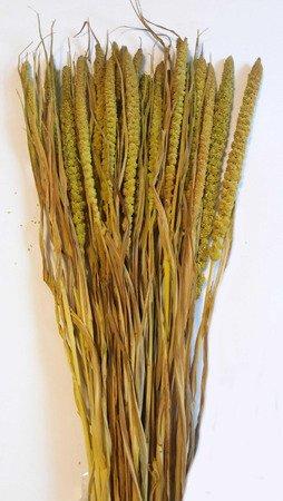 WŁOŚNICA KOLOR SELEDYNOWY (setaria) trawa ozdobna na suche bukiety